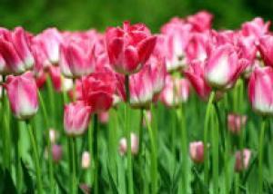 В Красноярске начался конкурс на самый красивый тюльпан