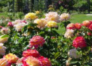 Сажаем розы по правилам