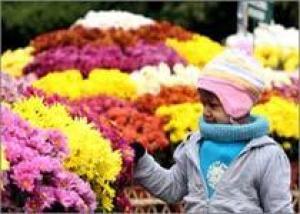 Кто больше всего любит хризантемы?