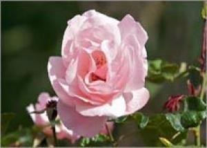 Роза – новый цветочный символ Индии?