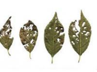 Методы для защиты вишни от вредителей