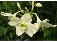 Волгоградский ботанический сад приглашает на цветение амазонской лилии