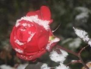 Защищаем розы от мороза