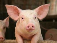Самая успешная в истории ветеринарная вакцина обеспечила уже 2 млрд. свиней высококачественной защитой